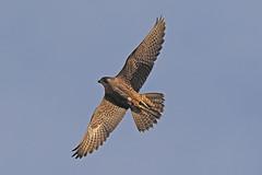 IMG_9122 (superbrad-) Tags: superbrad superbradphotos ianbradley derbyshire belpereastmill belperrivergardens belperperegrines peregrin falcon eyass tiercel peregrinejuvenile raptors falcons birdsofprey