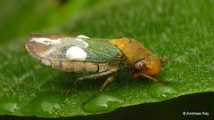 Leafhopper, Oncometopia clarior? Cicadellidae (Ecuador Megadiverso) Tags: andreaskay cicadellidae cicadellinae ecuador hemiptera leafhopper oncometopiaclarior sharpshooter truebug