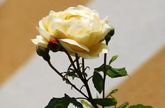 Heilige Dreifaltigkeit (amras_de) Tags: rose rosen ruža rosa ruže rozo roos arrosa ruusut rós rózsa rože rozes rozen roser róza trandafir vrtnica rossläktet gül blüte blume flor cvijet kvet blomst flower floro õis lore kukka fleur bláth virág blóm fiore flos žiedas zieds bloem blome kwiat floare ciuri flouer cvet blomma çiçek
