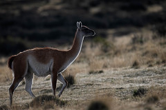 Rim-Lit Guanaco (Glatz Nature Photography) Tags: chile patagonia southamerica nature torresdelpaine magallanes glatznaturephotography wildlife wildanimal animal mammal guanaco rimlight lamaguanicoe