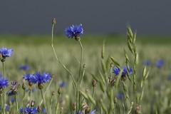 Auf der Straße über die Sieben Berge - Kornblumen (Centaurea cyanus) in einem Weizenfeld; Norderstapel, Stapelholm (2) (Chironius) Tags: stapelholm schleswigholstein deutschland germany allemagne alemania germania германия niemcy norderstapel blau asterids campanuliids asterales korbblütler asteraceae carduoideae cynareae centaurea flockenblumen landschaft