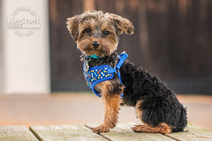 Picture of the Day (Keshet Kennels & Rescue) Tags: adoption dog ottawa ontario canada keshet large breed dogs animal animals pet pets field nature photography morkie yorkie yorkshire terrier maltese mix mixed sit harness clothes wearing blue little cutesit
