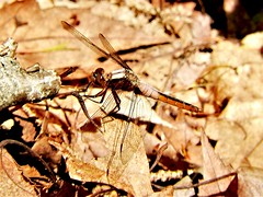 Chalk-fronted Corporal (d_taron) Tags: unitedstates maine dragonflies odonata anisoptera libellulidae ladona ladonajulia