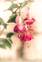 165/365 Fuchsia with Textures (belincs) Tags: oneaday lincolnshire 365 june 2019 uk 365the2019edition 3652019 day165365 14jun19