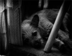 Comfort Under a Chair (Peter Polder) Tags: australia art bw dog emotion monochrome mono