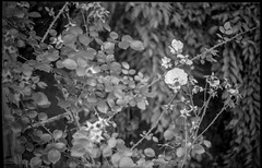 rose forms, blossoms, dried remnants, thorns, yard,  Asheville, NC, Voigtlander Vitomatic II, Kodak Rera Pan 400, HC-110 developer, 6.14.19 (steve aimone) Tags: roses rose roseforms rosebush blossoms thorns yard asheville northcarolina voigtlander voigtlandervitomaticii rangefinder rerapan400 hc110developer 35mm 35mmfilm film blackandwhite monochrome monochromatic floralforms floral flowers