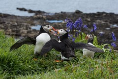 Puffins among the Bluebells (Ian.Kate.Bruce's Wildlife) Tags: puffin fraterculaarctica alcidae auks seabirds bird wildlife nature ianbruce katebruce lunga treshnishisles island scottishcoast scotland uk bluebell