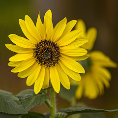 Sunflower (gary_photog) Tags: milvus8514zf 1485milvus zeiss closeup flower sunflower yellow fantasticnature