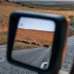 Bison in Rear View Mirror (Duncan Rawlinson - Duncan.co) Tags: 131v4w3uquew3kot2gqoljnbgtclla5lwb 1by1 1x1 america animal antelopeisland antelopeislandstatepark antelopeislandstateparkutahunitedstatesofamerica bisoninrearviewmirror duncanrawlinson duncanrawlinsonphoto duncanrawlinsonphotography duncanco iq250 landscape park phaseone phaseoneiq250 photobyduncanrawlinson rearviewmirror shotwithaphaseoneiq250 statepark summertrip2018 usa unitedstates unitedstatesofamerica utah utahunitedstatesofamerica wild wildlife adventure american animals bison bovine brown buffalo calm conservation dangerous environment fur grass grazing groupofanimals herb herbivore herd horns httpsduncanco httpsduncancobisoninrearviewmirror huge importedaugust19th2018 island mammal mirror natural nature outdoors ruminant saltlake scenic symbol