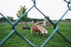 Mini (Past Our Means) Tags: kodak portra portra400 400 mini horse pony kodakfilm spring farm animals analog 50mm 35mm canon ae1 canonae1 film filmisnotdead filmphotography filmsnotdead indiefilm adventures adventure travel tree grass