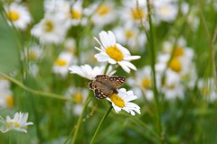 Speckled Wood (moniquerebanks) Tags: speckledwood butterfly daisies meadow vlinder spring nature lente blumen bloemen flowers woodland nikond7100