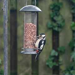 164/365 Greater Spotted Woodpecker (belincs) Tags: oneaday lincolnshire 365 june 2019 uk 365the2019edition 3652019 day163365 12jun19