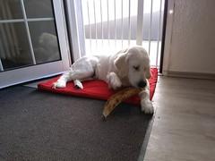 what a tasty big rip (corinna1411) Tags: pets haustier dog dogs hund hunde goldenretriever golden goldenretrievers welpe puppy weis white porträt portrait sherlysgoldenglenn