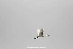 2018-11-04-20181129-nature-nature_XT22581.jpg (Nicolas Blanc - Swiss action photography) Tags: wildlife aigrette grandeaigrette bocage
