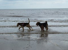 IMG_7814 (Bunty at Lissett) Tags: airedaleterrier hornsea beach kym gibbs chelsea