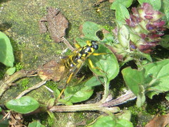 i rescued it from the water and it dried off okay (river crane sanctuary) Tags: wasp insect nature rivercranesanctuary