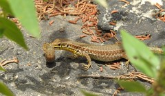 Maltese Wall Lizard (Podarcis filfolensis) (Nick Dobbs) Tags: maltese wall lizard podarcis filfolensis gozo xlendi malta reptile endemic gremxula komuni ta
