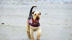 IMG_7820 (Bunty at Lissett) Tags: airedaleterrier hornsea beach kym gibbs chelsea