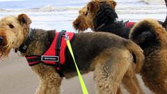 IMG_7816 (Bunty at Lissett) Tags: airedaleterrier hornsea beach kym gibbs chelsea