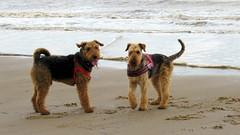 IMG_7810 (Bunty at Lissett) Tags: airedaleterrier hornsea beach kym gibbs chelsea