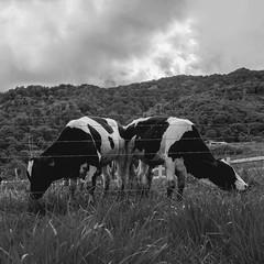 Twins. (Andy @ Pang Ket Vui ( shootx2 )) Tags: twins fujifilm x100f desa farm borneo sabah travel black white animal cow