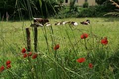 P1191101 cows (tottr) Tags: detmold summer june juni spring sommer frühling 2019 cow rind cattle cows rinder cattles hausrind hausrinder