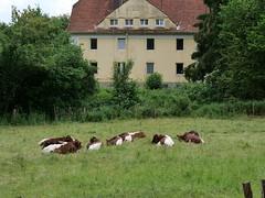 P1191099 cows chilling (tottr) Tags: detmold summer june juni spring sommer frühling 2019 cow rind cattle cows rinder cattles hausrind hausrinder