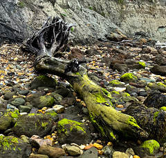 Beached (S2TDD) Tags: isleofwight beach driftwood wood tree green gray grey roots trunk