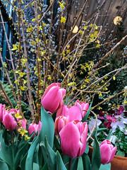 Tulips (JoelZimmer) Tags: florals iphone7 manhattan newyork westvillage