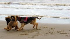 IMG_7809 (Bunty at Lissett) Tags: airedaleterrier beach hornsea gibbs chelsea kym