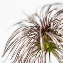 168/365 & MM - Curves (belincs) Tags: clematis curves lincolnshire macromondays june 2019 uk macro 365the2019edition 3652019 day168365 17jun19
