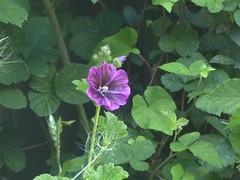 Bud Becomes a Flower!  - Malva? (river crane sanctuary) Tags: flower rivercranesanctuary garden