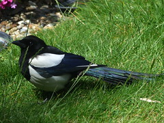Magpie Full Length (river crane sanctuary) Tags: magpie rivercranesanctuary nature bird wildlife