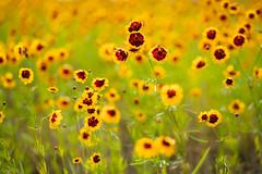 花 (fumi*23) Tags: ilce7rm3 sony sel85f18 bokeh dof a7r3 flower plant yellow ソニー 85mm fe85mmf18 花 植物