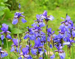 Irises in the garden (sharon'soutlook) Tags: iris flower flowers blooms purple group bokeh green cincninnati oh springtime spring