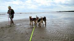 IMG_7812 (Bunty at Lissett) Tags: airedaleterrier beach hornsea gibbs chelsea kym