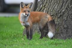fox (Peter Granka) Tags: fox foxkits redfox