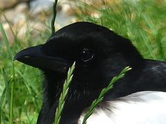 Magpie Close Up (river crane sanctuary) Tags: rivercranesanctuary magpie bird nature wildlife