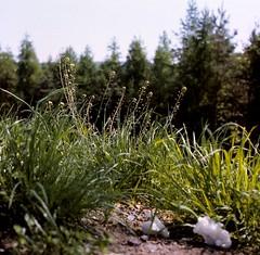 Capsella bursa-pastoris (L.) MEDIK.  Gewöhnliches Hirtentäschel Shepherd's purse (Spiranthes2013) Tags: capsellabursapastorislmedik gewöhnlicheshirtentäschel shepherdspurse capsellabursapastoris hirtentäschel capsella plant pflanze pflanzendias plantae pflanzen angiospermen angiosperms eudicots eudicosiden rosiden rosids brassicales brassicaceae kreuzblütler kreuzblütlerartige camelineae kfwolfstetter deutschland germany diaarchiv diascan scan unterfranken lowerfranconia lkmiltenberg 1991 becker bayern bavaria 6x6 6x6dias nature natur wildwachsendepflanzendeutschlands