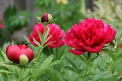 Heirloom Peony (Linda Ramsey) Tags: june ontario backyard spring flower bloom garden peonies red peony