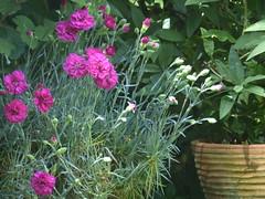 Pink Carnations (river crane sanctuary) Tags: garden carnations rivercranesanctuary wildlife flowers