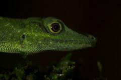 Anolis punctatus (Amazon green Anole) (germán.herps) Tags: amazon green lizard tree arboreal rainforest peru peruvian photography macro canon wildlife nature adventure