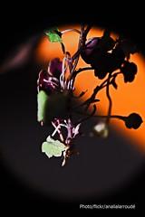 Para mi padre en donde se encuentre (Aprehendiz-Ana Lía) Tags: flickr nikon padre naturaleza nature macro macrofotografía hojas flor detalle sombras contraluz imagen analialarroude otoño autum monpère père plantas