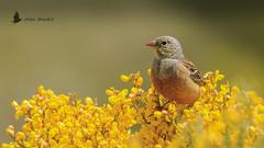 Escribano hortelano (Emberiza hortulana) (jsnchezyage) Tags: escribanohortelano emberizahortulana ave pájaro bird birding ornithology beak feather ortolanbunting ngc npc