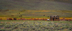 Out to Pasture (DavidHenkins) Tags: colorado mountain mountains pasture cows cow bard shelter fence grass nature landscape animals