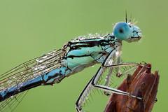 Platycnemis pennipes (Cristian Arghius) Tags: canoneos5dmarkii canonmpe65mm rrstp243tripod arcaswisscubetripodhead zerenestacker macro naturallight focusstack insect damselfly platycnemispennipes