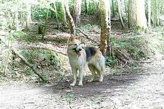 Bear. (tony allan tony allan) Tags: dog alsatian germanshepherd pet sonya6000 trees woods walk