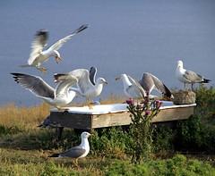 Isole Tremiti (Mattia Camellini) Tags: isoletremiti panorama landscape nature isle seagull gabbiano uccelli birds italy canoneos7d canonefs18135mmf3556is mattiacamellini