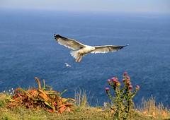 Isole Tremiti (Mattia Camellini) Tags: isoletremiti panorama landscape nature isle seagull gabbiano uccelli birds sea italy canoneos7d canonefs18135mmf3556is mattiacamellini mare