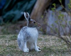 The hare on the farm (Toftus Photography) Tags: morjärv norrbottencounty sweden sverige norrbotn kalix småsel se farve color landscape landskap outdoor nature canon eos 5d mark iv